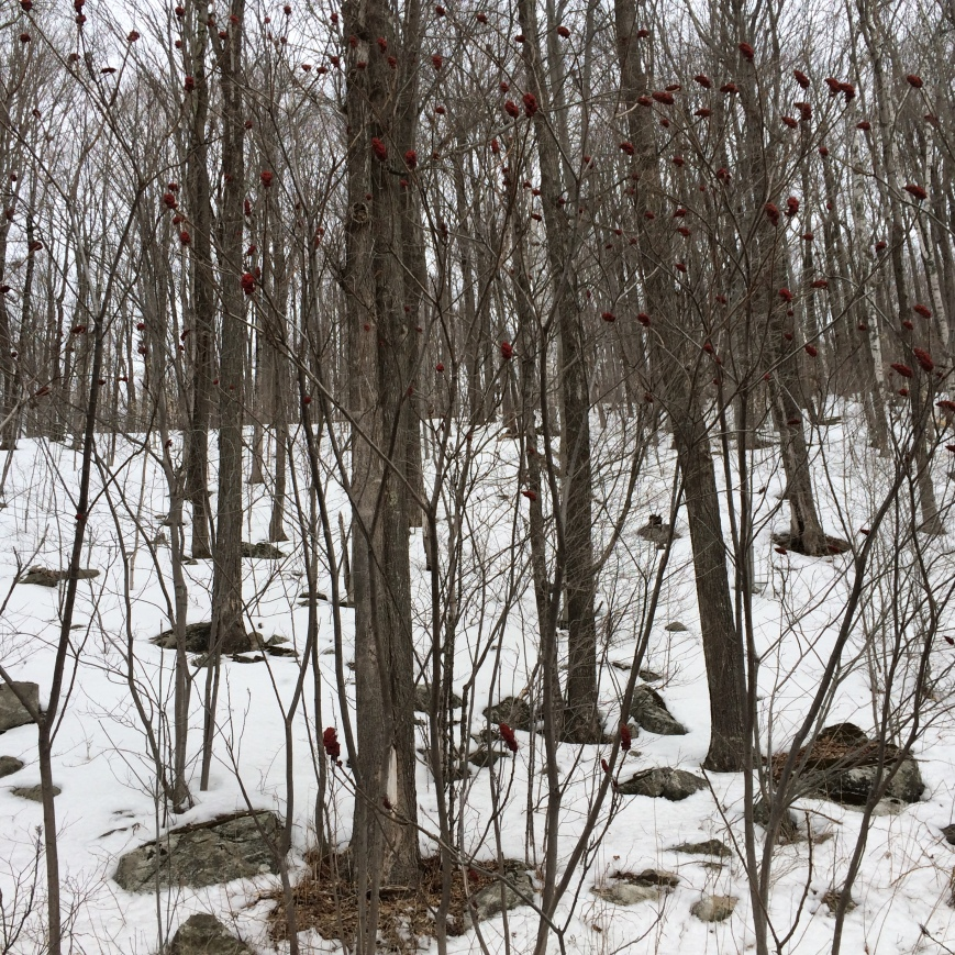 Budding trees in Vermont